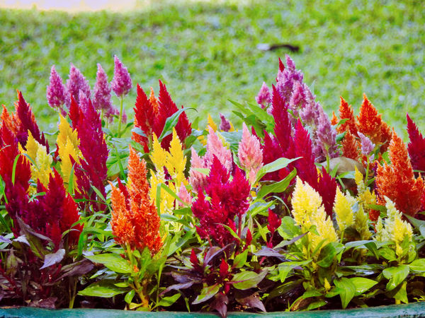 Beauty In Nature Change Close-up Day Flower Flower Head Flowering Plant Fragility Freshness Green Color Growth Inflorescence Leaf Leaves Multi Colored Nature No People Outdoors Plant Plant Part Red Tranquility Vulnerability  This Is Family