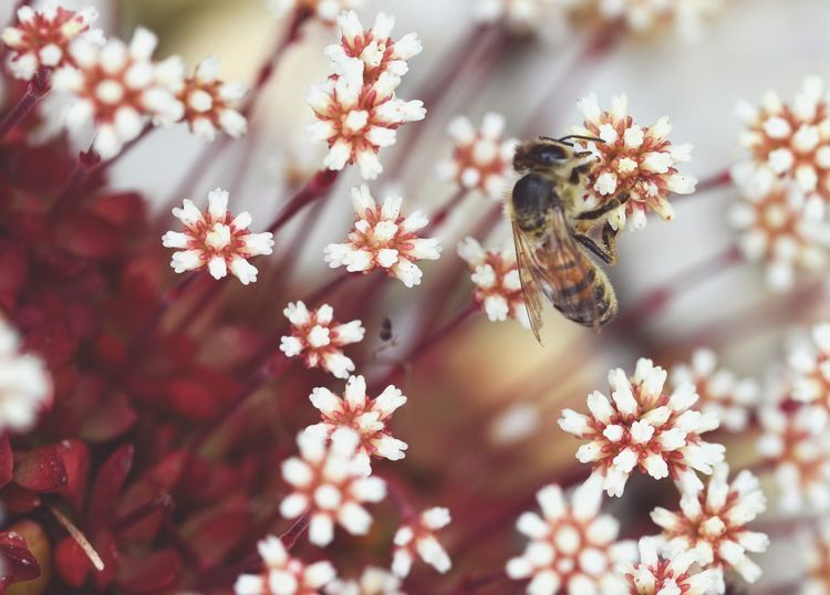 In the Garden. Deceptively Simple Bee Plant Nature Red & White Macro Flower Collection