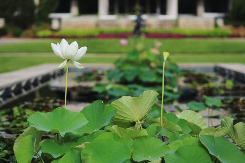 Flower Leaf Nature Beauty In Nature Green Color Flower Head Plant Growth Freshness Fragility Petal Outdoors No People Water Lily Close-up Lotus Water Lily Day Water Photographer Canonphotography Canon_photos Photooftheday Photographic Memory MyPhotography My Hobby 😁