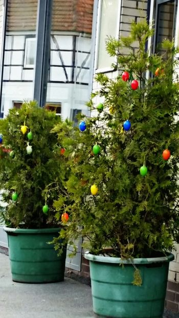 Bunte Mischung am Baum. .. colorful mix on the tree Potted Plant Building Exterior Growth Plant Green Color Bunte Eier Colorful Eggs Colorful Color Photography Colors Tree_collection  Bunt Eyeemphotography Taking Photos Close-up Farbenspiel Farbenfroh Multi Colored