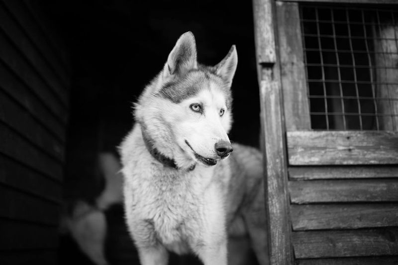 Husky at a conservation centre. Husky Amimals Dog Nature Wildlife 35mm
