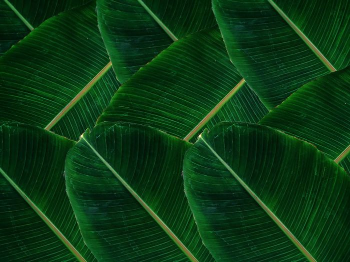 Banana leaf of life