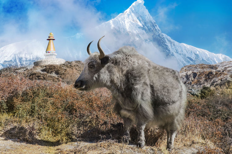 Fluffy Yak in Nepal stands in front of a huge mountain massif. A traditional Stupa can be seen in the background. Mammal Animal Animal Themes Snow Sky Nature Domestic Animals Winter Cold Temperature Mountain Vertebrate Land No People Environment Day One Animal Animal Wildlife Livestock Mountain Range Outdoors Snowcapped Mountain Nepal Langtang Yak ASIA