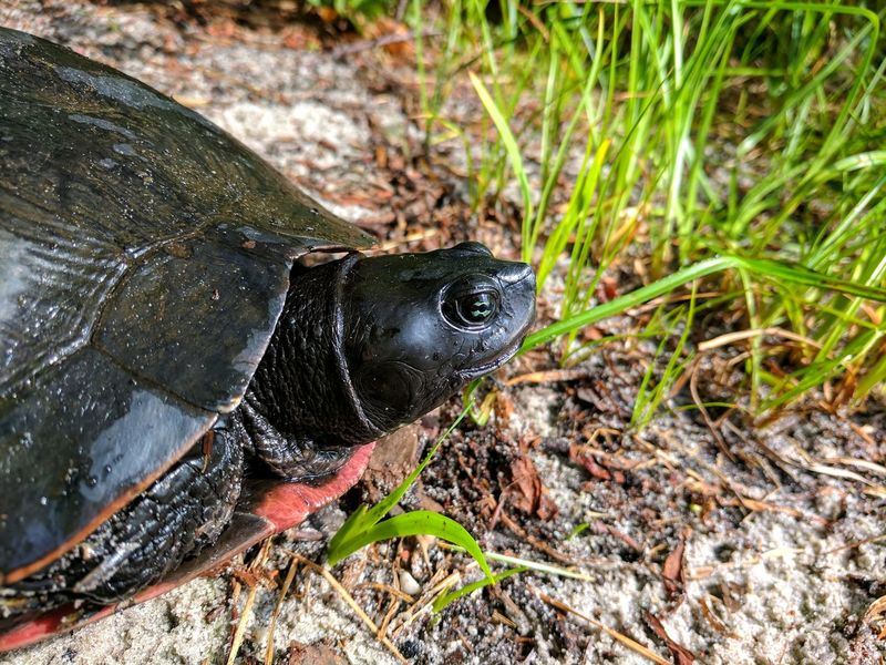 One Animal Animals In The Wild Animal Themes Animal Wildlife Day Nature Outdoors High Angle View Field Close-up No People Grass Beauty In Nature Slug Painted Turtle Redbelly Turtle Pond Turtle Tortoise Shell Nature Water Turtle Tortoise Grass New Jersey Reptile