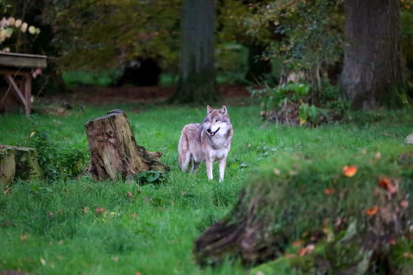 Mammal One Animal Animal Wildlife Animals In The Wild Outdoors Animal Themes No People Nature Grass Tree Day Domestic Animals Wolf Wolfhound Canon_photos Canon 5d Mark Lll Canon5Dmk3 Canonphotography Canon EOS 5D MarkIII Tierpark Sababurg Photography Forest Beauty In Nature Hobbyphotography Nature