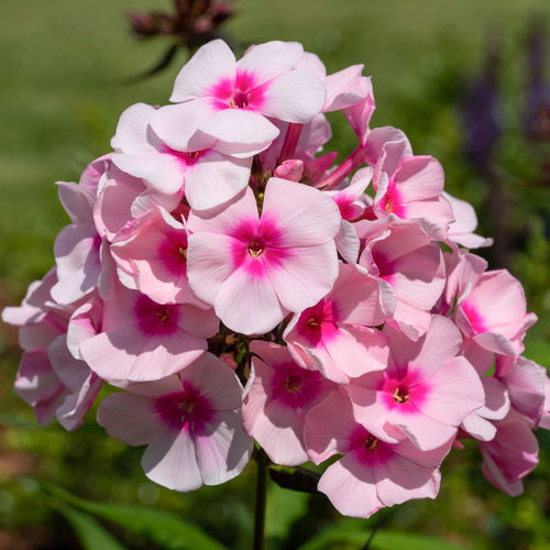 Garden Phlox (Phlox paniculata), flowers of summer Flowering Plant Flower Fragility Petal Vulnerability  Flower Head Inflorescence Plant Beauty In Nature Freshness Close-up Growth No People Focus On Foreground Garden Flora Blooming Bloom Blooming Flower Blossom Nature Outdoors Blooming Garden Summer Summertime Natural Botanic Close Up Beauty In Nature Floristry Season  Flowering Plant Phlox Phlox Paniculata Garden Phlox Day