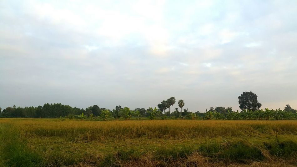 Nature Landscape Sky Agriculture Tree Field Beauty In Nature Rice Field Field Nature_ Collection  Nature_ Collection  Rice Paddy Country Life Myhome