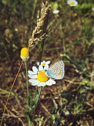 Butterfly Polyommatus Bellargus Lysandra Bellargus 🦋 Голубянка Flower Chamomile Matricaria