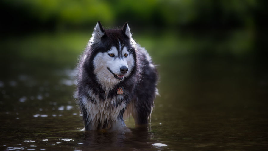 Animal Themes Day Dog Domestic Animals Full Length Mammal Nature No People One Animal Outdoors Pets Portrait Siberian Husky Water Waterfront