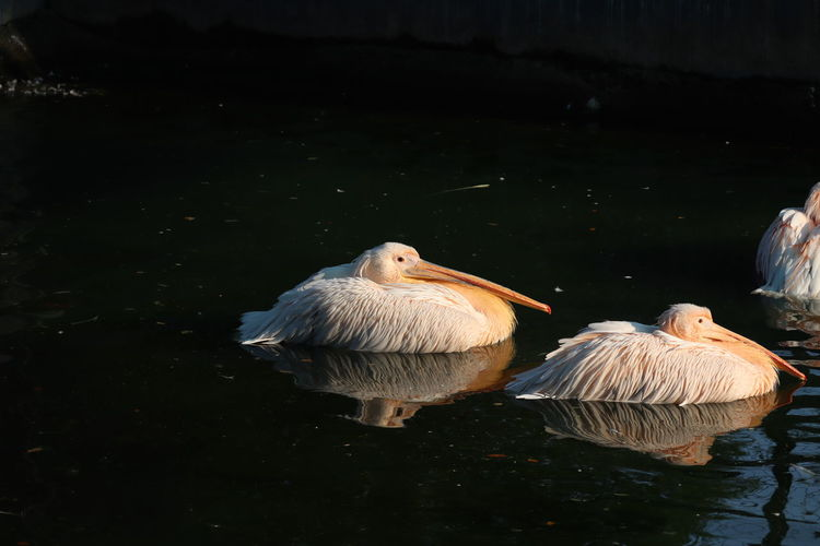 View of pelican birds swimming in lake