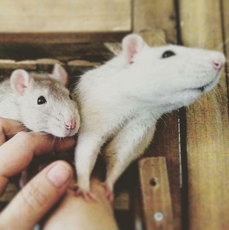 ʀᴏʙɪɴ ᴜɴᴅ ᴛᴇᴅᴅʏ Ratstagram Freelance Life Rattie Ratte ʜᴀᴘᴘʏ Pet Cutie Rats Ratties Rat Animals ᴘʜᴏᴛᴏ Animal ᴘʜᴏᴛᴏɢʀᴀᴘʜɪᴇ