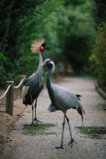 Bird Photography Birds Of EyeEm  Black Crowned Crane In The Zoo Black Crowned Crane, Gruidae, Grus Gruiformes Rwanda Savannah Animal Animal Themes Animal Wildlife Balearica Pavonina Bird Birds Black Crowned Crane Cranes And Construction Gruidae Nature Outdoors Two Animals