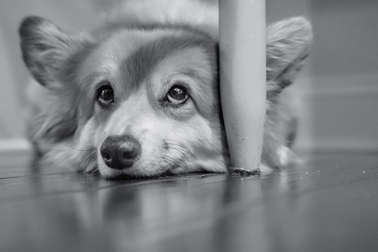 Soulful Eyes Bnw Close-up Corgi Corgilove Dog EyeEmNewHere Furbaby Furry Friends Looking At Camera One Animal Pets Sony A6000 Soulful Eyes