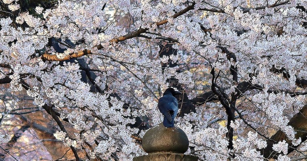 South Cherry Blossoms Cherry Trees Cherry Blossom Crow Flower Crown Raven The Raven Spring Flowers Spring