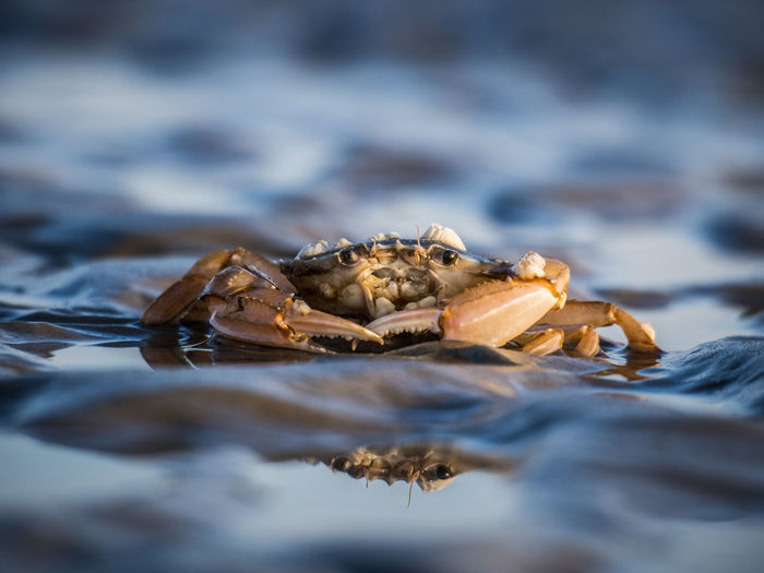 Crab in the intertidal zone of the North Sea Animal Beauty In Nature Close-up Crab Crustacean Eyes Focus On Foreground Frutti Di Mare Low Tide Mud Flat Nature North Sea Reflection Reflection_collection Rippled Sankt Peter-Ording Selective Focus Dramatic Angles The Great Outdoors - 2017 EyeEm Awards
