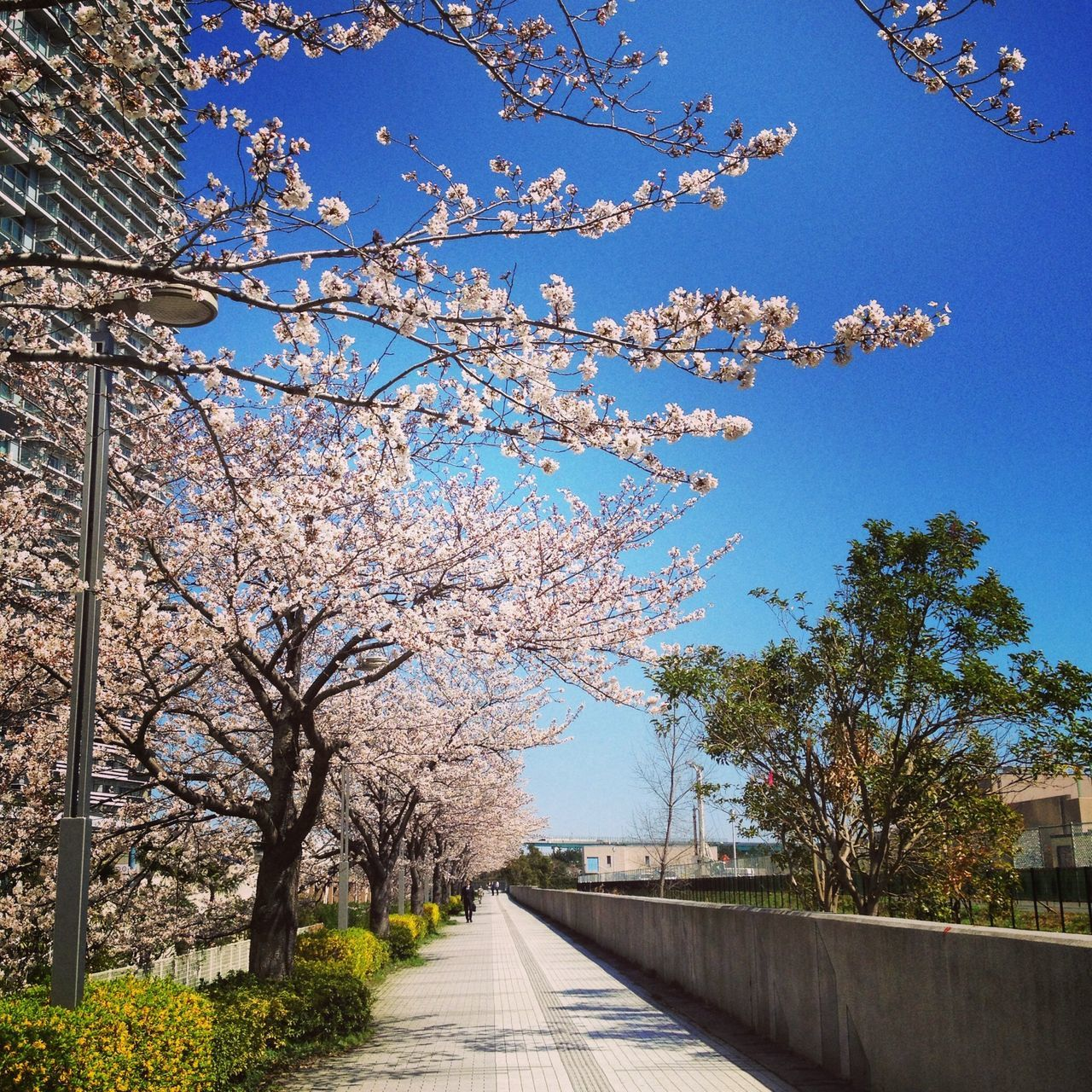 Pathway along flower trees