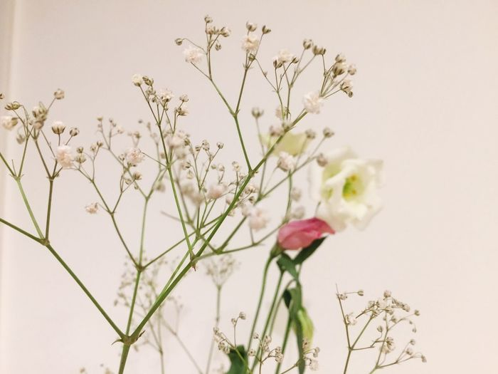 Flower Growth Stem Fragility Plant Freshness Close-up Focus On Foreground Beauty In Nature Nature Petal Springtime In Bloom Day Botany Blossom White Background Flower Head No People Blooming Thank You Present
