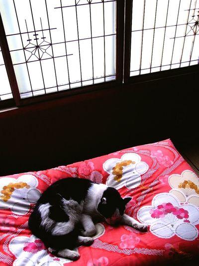 Cat Sleeping Sleeping Cat Bedtime Red Japan 猫 眠る ふとん 赤