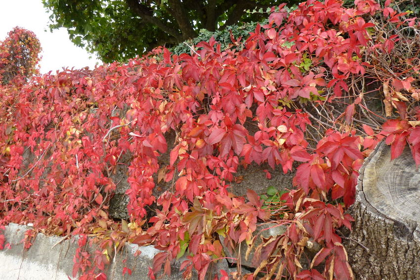 Autumn Colors Autumn Leaves Red Leaves Red Nature Autumn Beauty In Nature Bodensee Change Climbing Plant Close-up Day Freshness Growth Leaf Nature No People Outdoors Plant Red Red Plant Vine Leaves Vines On Wall