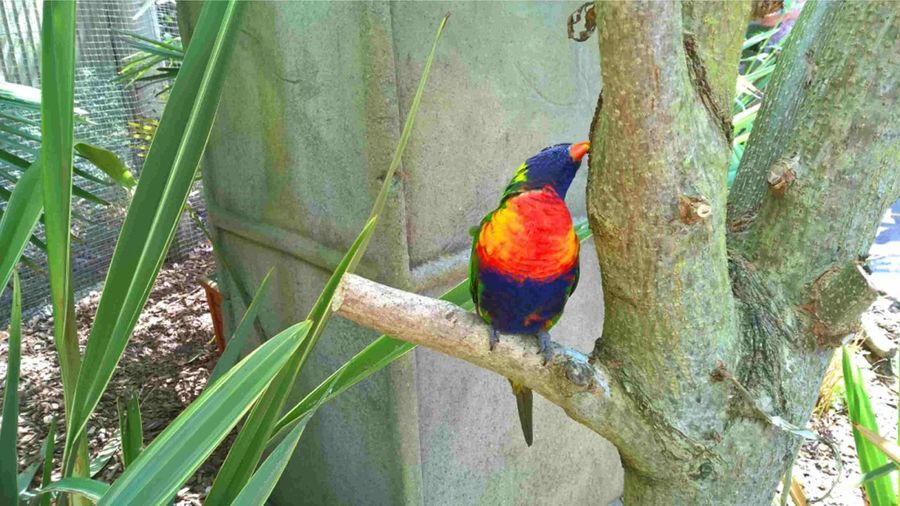Arboreal Parrot Loriini Trichoglossus Moluccanus Bird Birds Branch Multi Colored No People Outdoors Parrot Perching Plant Rainbow Lorikeet Rainbow Lorikeets Tree Tree Trunk