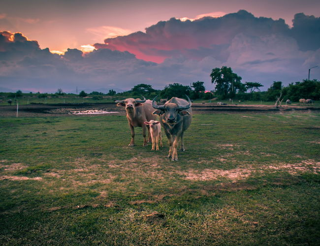 Cows on field against sky during sunset