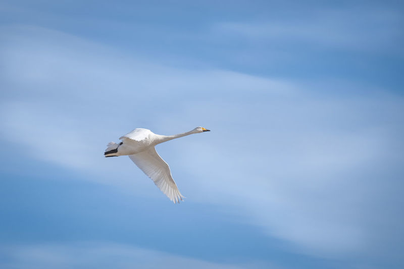 One swan flying in the air against blue sky Animal Themes Animal Wildlife Bird Blue Sky Clouds Cygnus Olor Day Flight Flying High Lonely Migratory Birds Nature No People One One Animal Outdoors Sky Spread Wings Swan White Whooper Wildfowl Wings