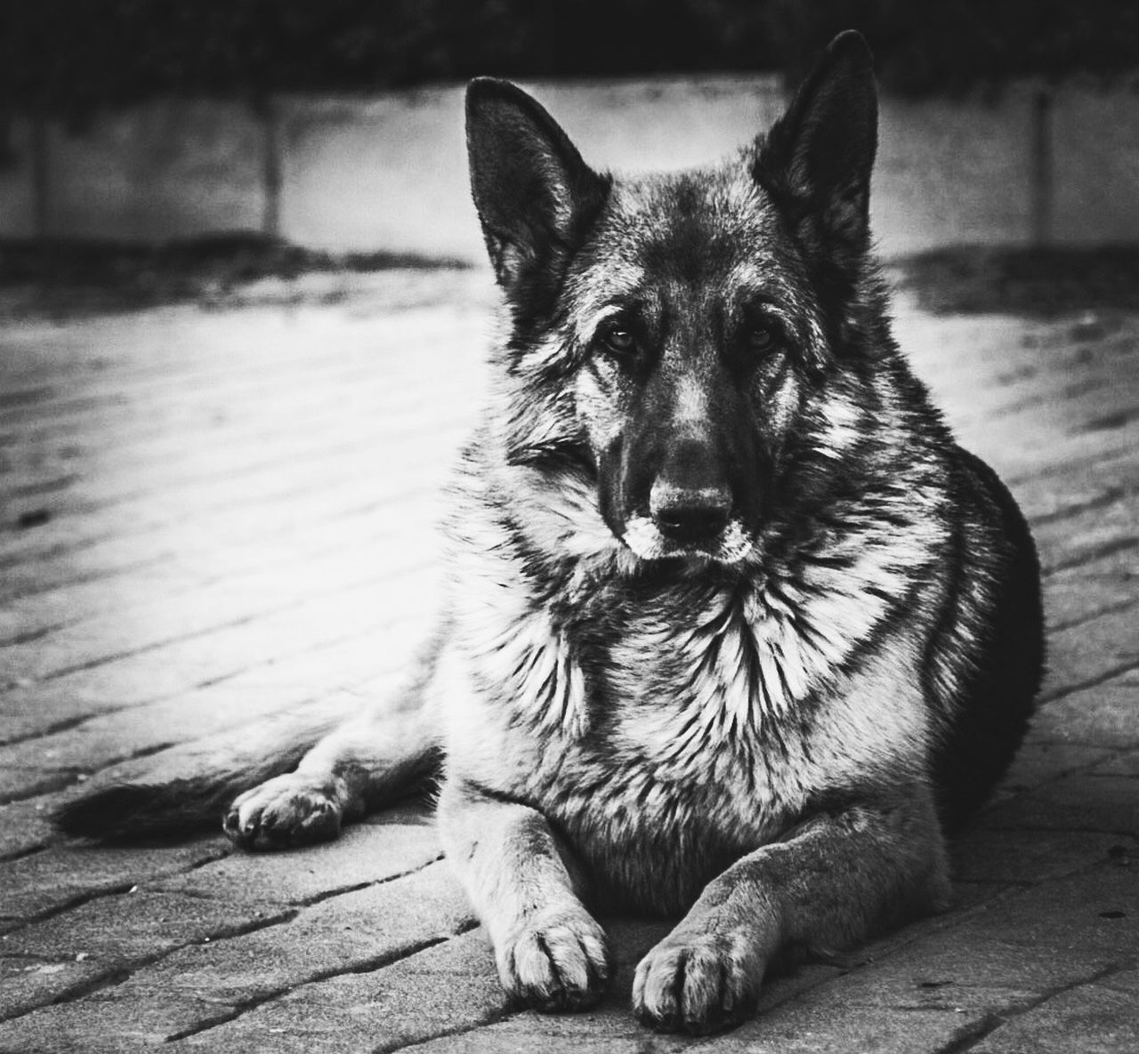 Portrait Of German Shepherd Sitting On Street