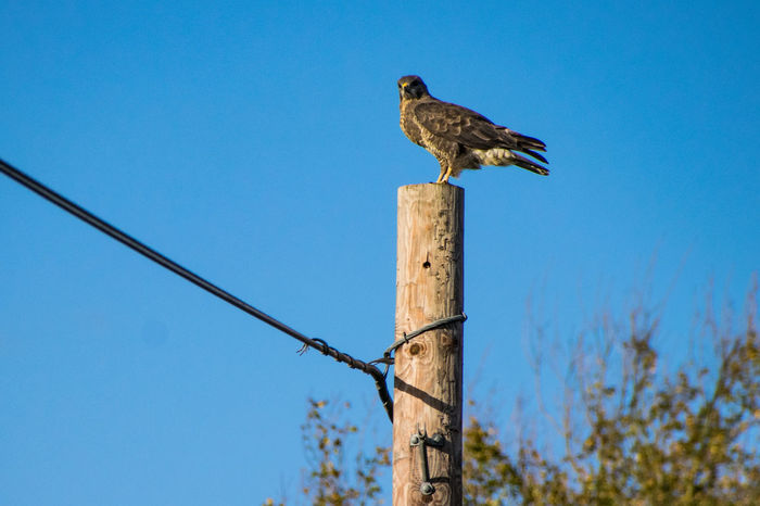Animal Themes Animal Wildlife Animals In The Wild Beauty In Nature Bird Bird Of Prey Blue Buzzard  Buzzard In Flight Buzzards Clear Sky Day Low Angle View Nature No People One Animal Outdoors Perching Sky Wooden Post