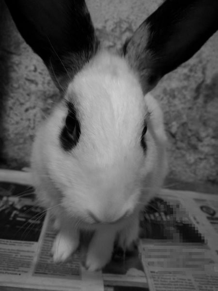 Small Pet Black And White Rabbit ❤️ Lovely Pet Pets Of Eyeem Pets Black And White Friday