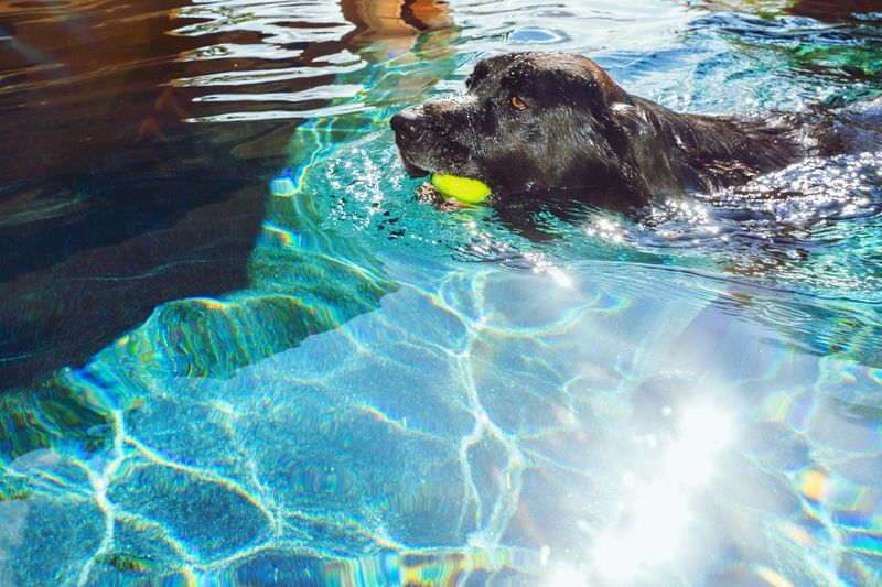 Another Tennisball Rescue Thankyou Rescuedog Cheese! Taking Photos EyeEm Animal Lover Dogs Dog Water The Great Outdoors - 2016 EyeEm Awards The Great Outdoors With Adobe Light Spectral Black Labrador BIG D. You've Done It Again