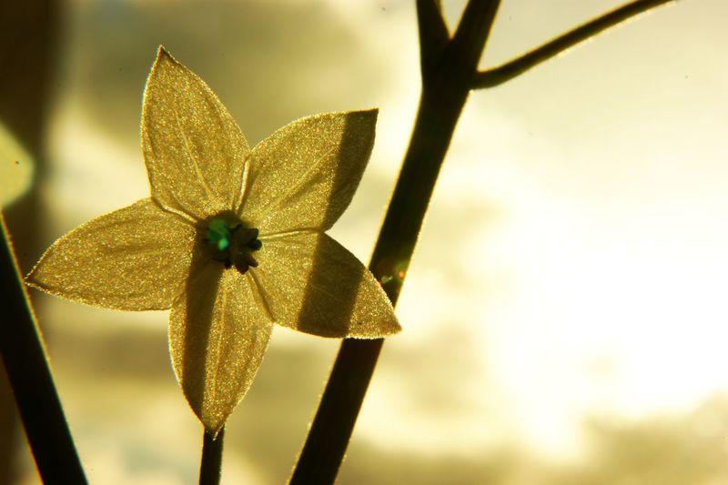Chilli pepper flower close-up Botany Chilli Chilly Pepper Flower Close-up Flower In Bloom Macro Nature
