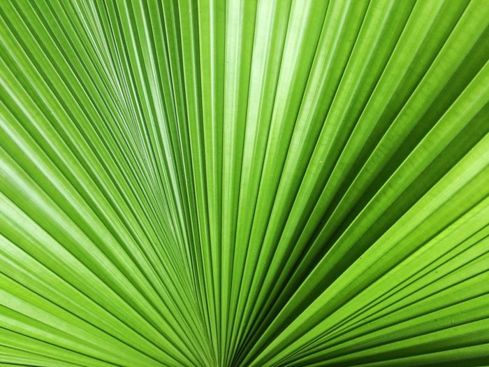 leaf texture Palm Leaf Palm Tree Frond Leaf Green Color Backgrounds Growth Satisfaction Nature Textured  Striped Close-up No People Full Frame Tree Day Peacock Fern Plant Freshness