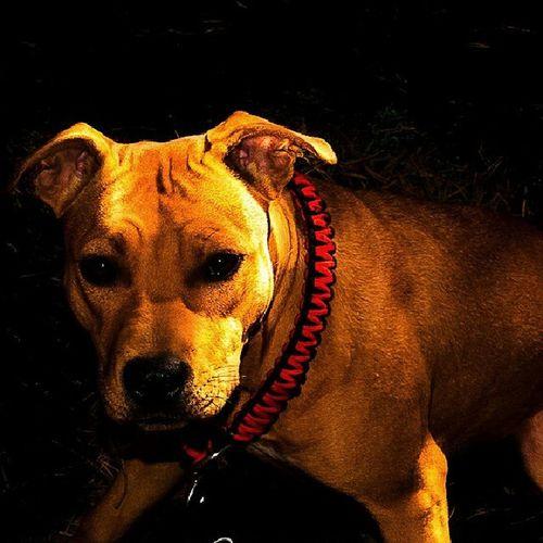 Pitlove PupY Love Pitbullinstagram dog dontbullymypitbull doglove dontbullymypitbull13 dbmpfall instapit instadog pitty pitbullterrier pitbullinstagram