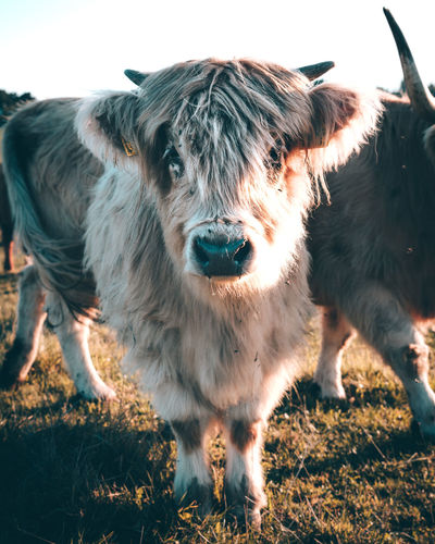 Young Highland Cattle Animal Animal Hair Animal Head  Animal Nose Animal Themes Cow Cute Domestic Animals Domestic Cattle Farmer Fluffy Highland Cattle Livestock Looking Looking At Camera Mammal Messy No People One Animal Pets Portrait Zoology