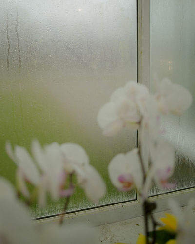 Close-up of white flower on glass window