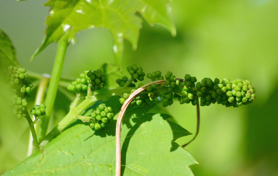 Grapes starting to grow for this summer 2018 Lingle Wyoming Close-up Focus On Foreground Fruit Green Color Growth Outdoors Plant Part