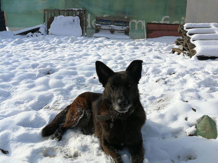 Pets Portrait Cold Temperature Dog Snow Looking At Camera German Shepherd