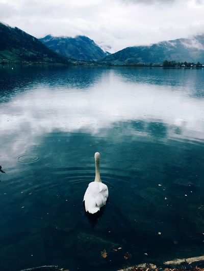 Swan swimming on lake against sky