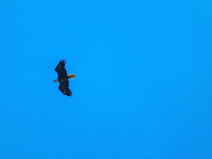 Bald Eagle (in Florida) Eagle Eagle - Bird Bald Eagle American Bald Eagle American BaldEagle In Flight Blue Flying Clear Sky Sky