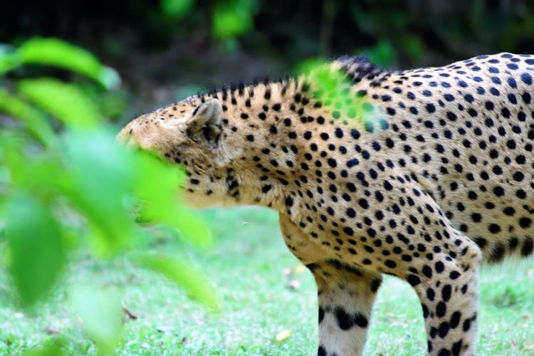 Wildlife and forestry Animal Animal Head  Animal Themes Animal Wildlife Animals Hunting Animals In The Wild Big Cat Cat Cheetah Day Feline Forest Hunting Leopard Mammal Nature No People One Animal Outdoors Plant Spotted Vertebrate