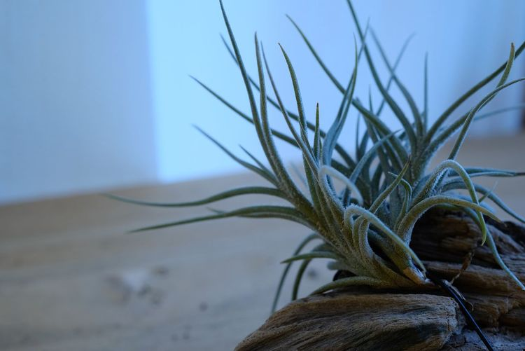 2017年2月に買ったチランジア バンデンシス tillandsia bandensis Airplants Tillandsia Focus On Foreground Nature Close-up No People Plant Day Beauty In Nature