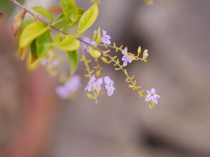 Nature view Flower Flowering Plant Plant Beauty In Nature Vulnerability  Growth Fragility Freshness Selective Focus Close-up No People Nature Day Petal Purple Outdoors Botany Tranquility Inflorescence Flower Head Cherry Blossom