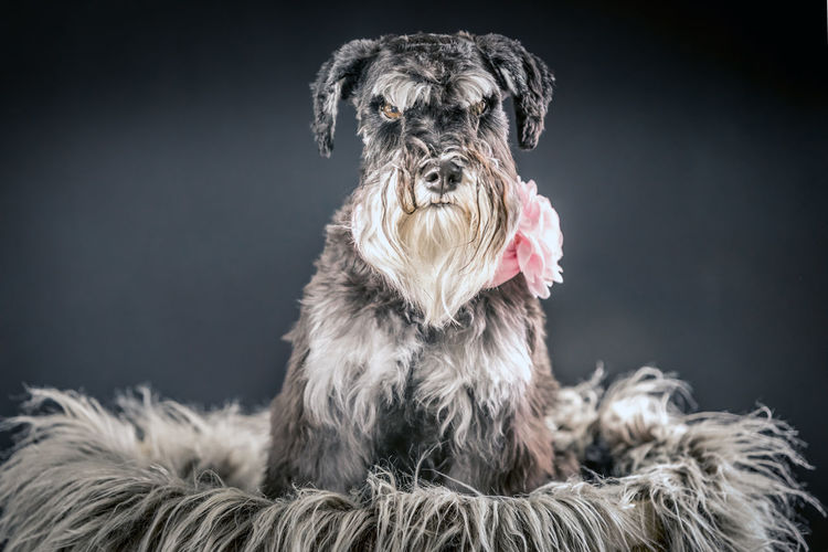 Portrait of dog against gray background
