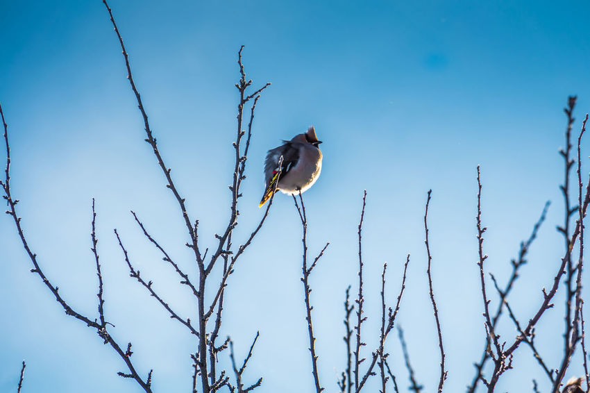 Wintertime Animal Animal Themes Animal Wildlife Animals In The Wild Bare Tree Beauty In Nature Bird Blue Branch Day Low Angle View Nature No People One Animal Outdoors Perching Plant Sky Tree Vertebrate Waxwing Waxwings