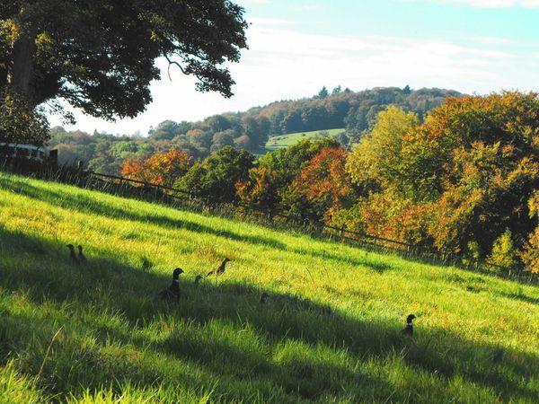 A Field full of Pheasants ... Welshpool Wales Countryside Wildlife Autumn Fall осень фазан