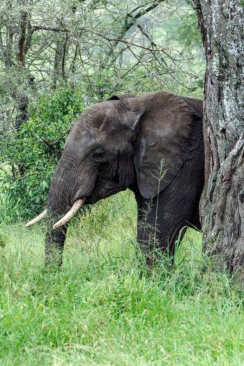 Elefant,