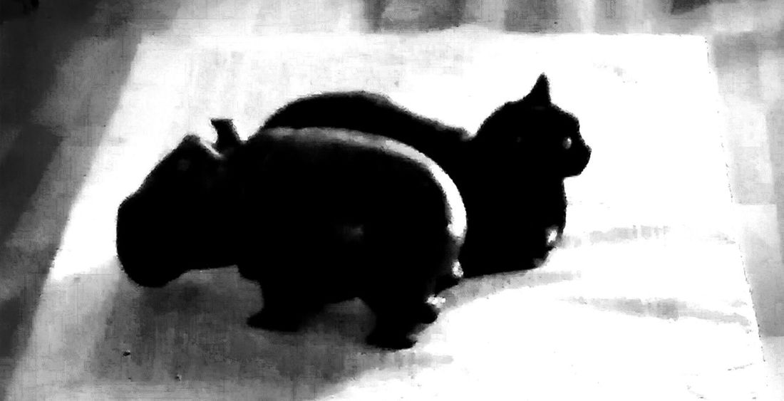 Black Cat Cat & Hipopotam Black & White Pets Cute Pets Cats Cat Lovers Cat♡ Catoftheday Miau Miau *-*  Miauuu