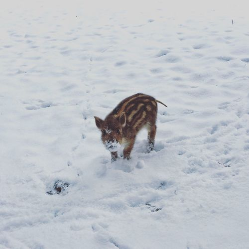 High Angle View Of Piglet Standing On Snow Covered Field
