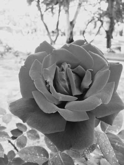 Flower Nature Petal Beauty In Nature Growth Fragility Blooming Plant Close-up Flower Head Outdoors No People Freshness Day Rose - Flower Blackandwhite Photography Murcia