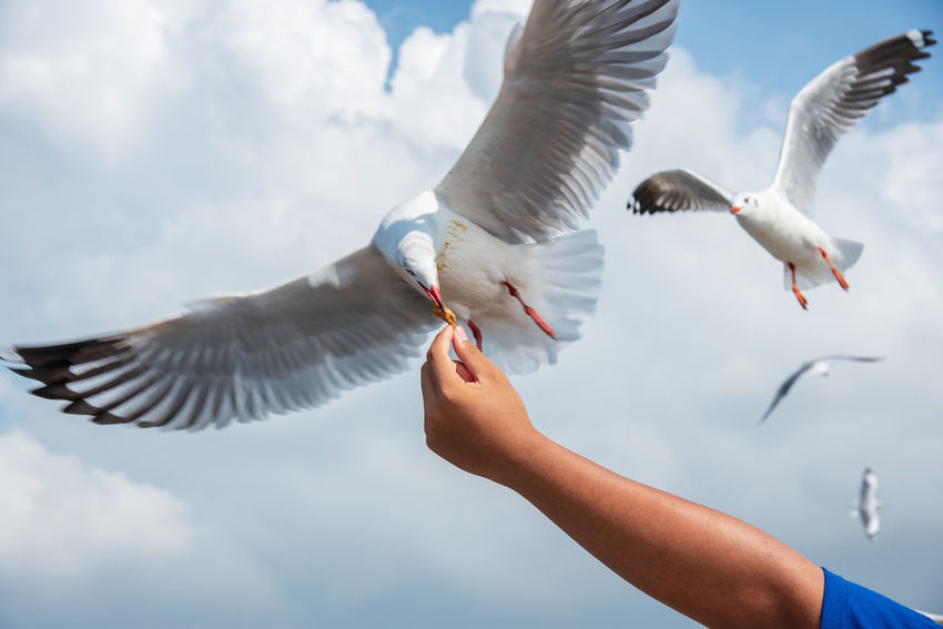 seagulls in action is flying on the sky with cloud,It is hovering food in hands Spread Wings Flying Bird Animal Themes Animal Animals In The Wild Animal Wildlife Vertebrate Seagull Human Body Part Group Of Animals Human Hand Hand One Person Sky Day Feeding  Cloud - Sky Nature Eating Body Part Outdoors Finger Human Limb